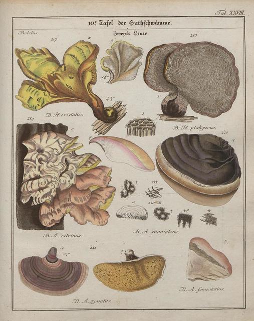 Das System der Pilze und Schwämme, 1817 k