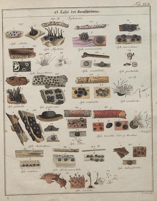 Das System der Pilze und Schwämme, 1817 q