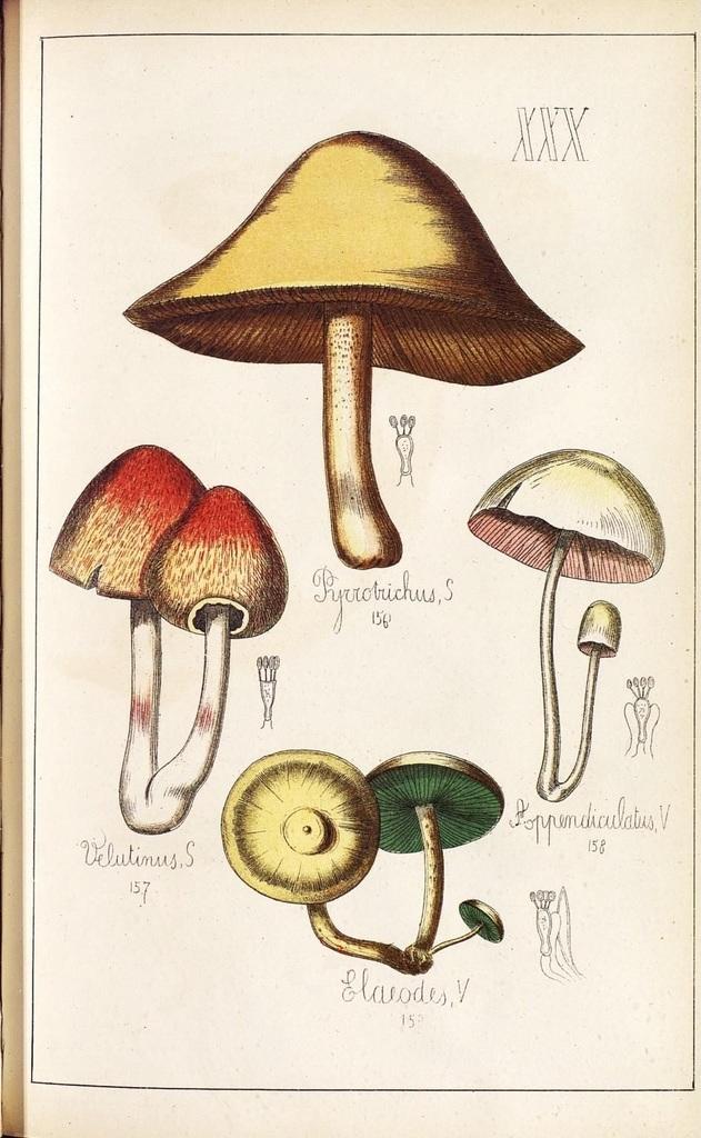 Pyriobuchus, Velutinus, Aopendiculatus et Elaeodes spp.