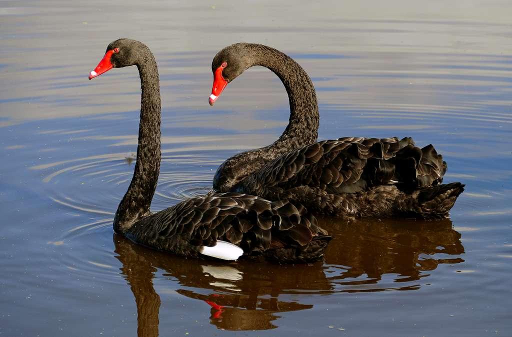 The black swan (Cygnus atratus)