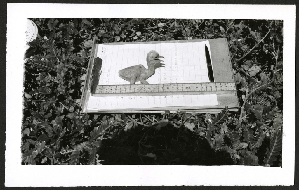 Brown Booby #22, one day old, Kure Atoll (undated).
