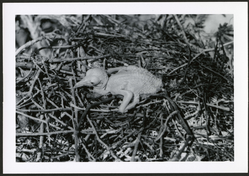 Fregata minor [Great Frigatebird] 1 day old, with visible egg tooth, on Christmas Island [Kiritimati], Kiribati, 1967.