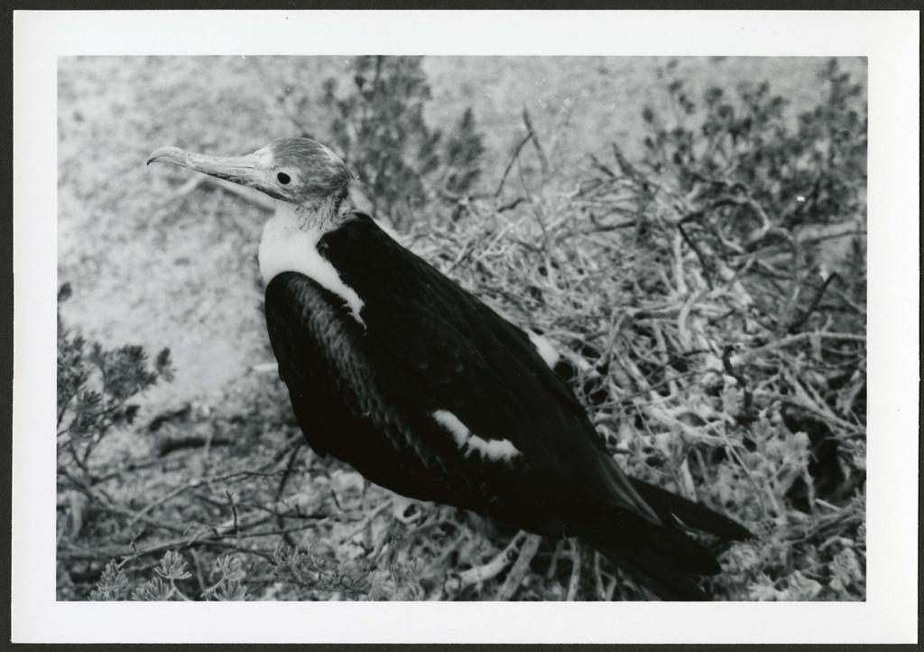 Fregata minor [Great Frigatebird] 120 days old, on Christmas Island [Kiritimati], Kiribati, 1967.