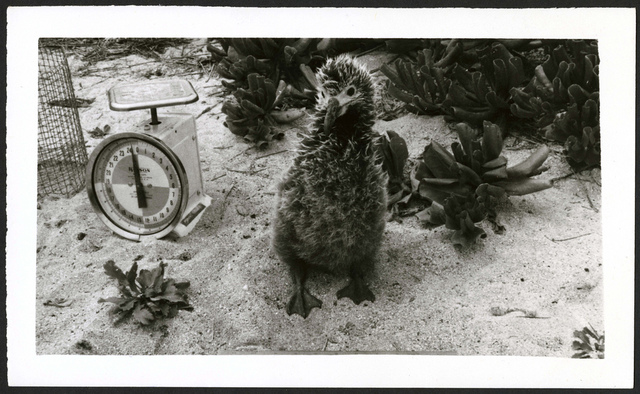 Laysan Albatross #4, 42 days old, Kure Atoll (undated).