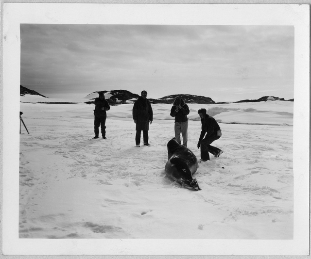 Operation Windmill Expedition Members Photographing a Seal