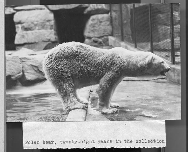 Polar Bear at the National Zoo