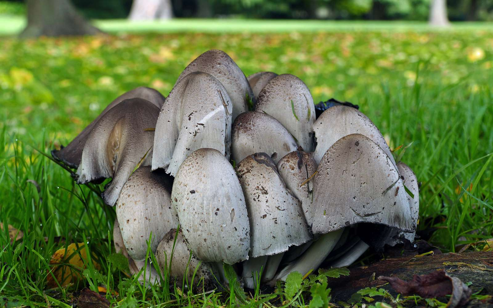Smooth Ink Cap (Coprinus atramentarius)