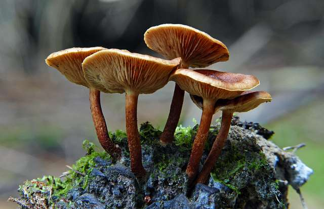 Hypholoma (Genus)