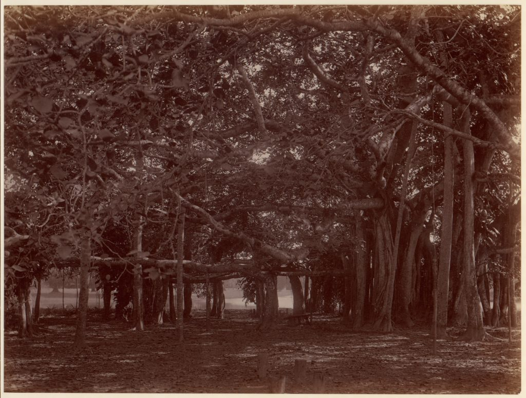 """Interior"" View of Banyan Tree, Calcutta"