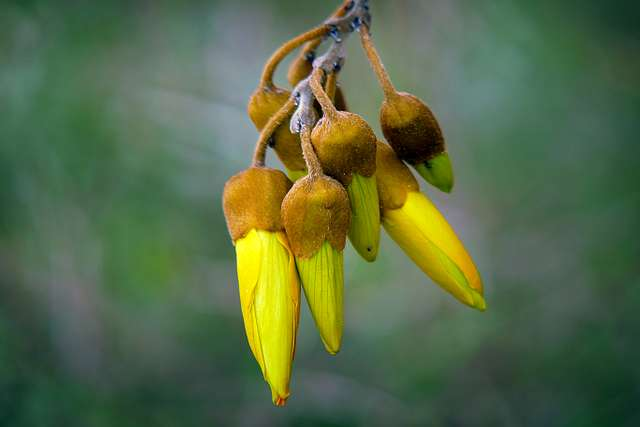 Kōwhai. (Sophora spp)