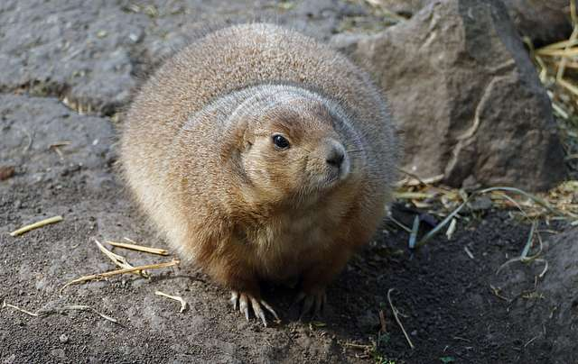 The black-tailed prairie dog (Cynomys ludovicianus)