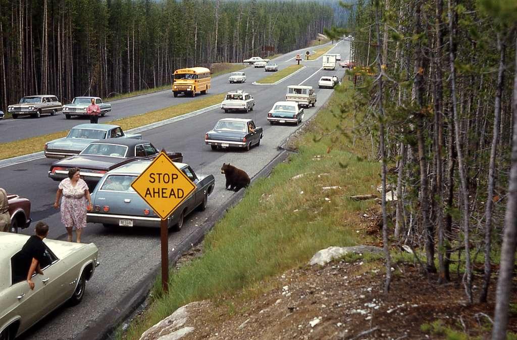 Black bear jam at Norris Junction