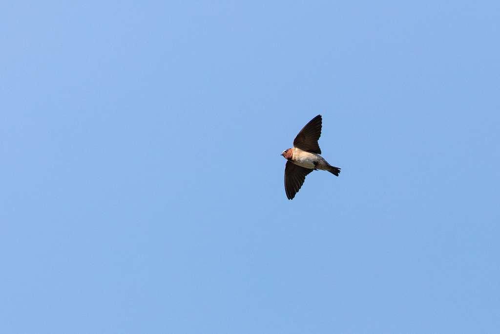 Cliff swallow (Petrochelidon pyrrhonota) in flight