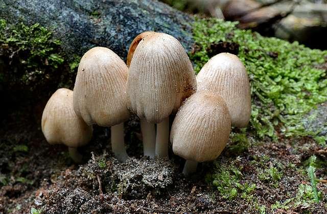 Coprinopsis laanii