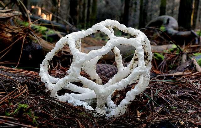 Ileodictyon cibarium. (basket fungi)