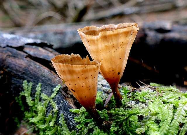 Podoscypha petalodes