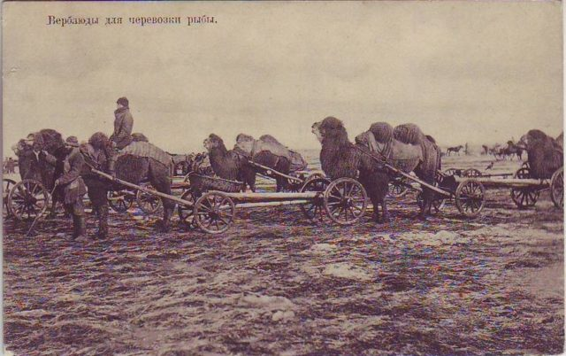 Astrakhan, Camel for fish transportation
