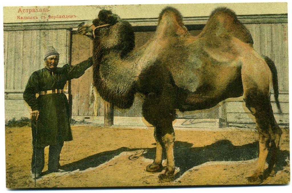Astrakhan, Kalmyk and Camel