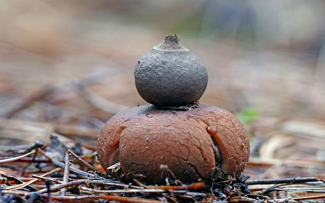 Geastrum  (earth star)