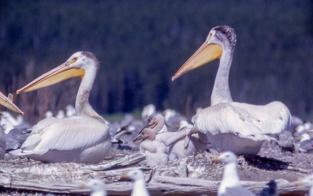 Adult and young pelicans on Molly Island