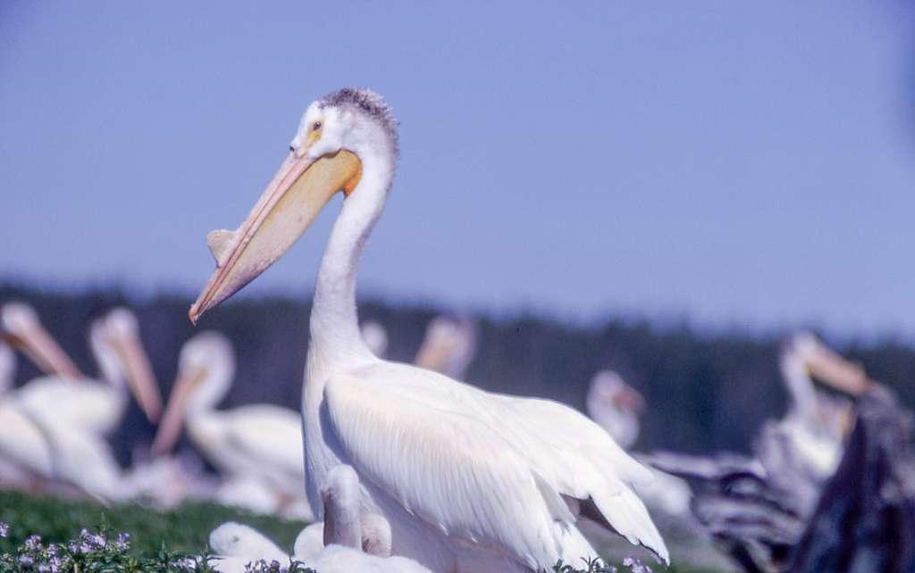 Adult pelican