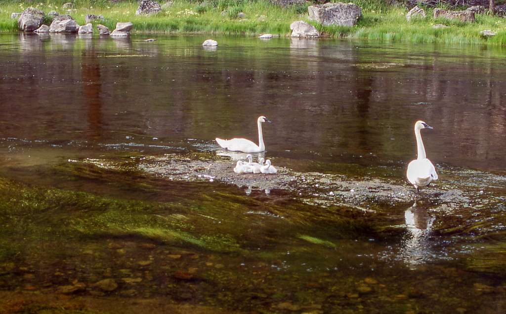 Adult swans and cygnets sit on a gravel bar in the river.
