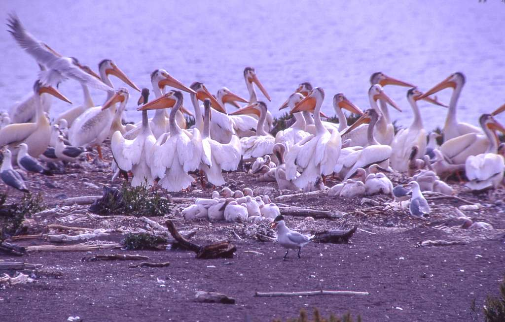 Baby pelicans huddled together on Molly Island