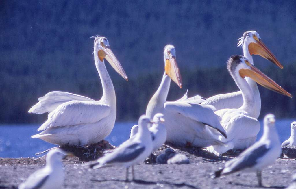 Pelicans on Molly Island