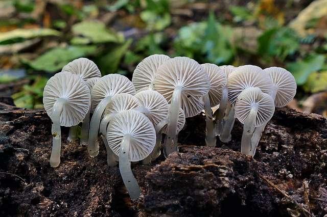 Roridomyces austrororidus, (Mycena)