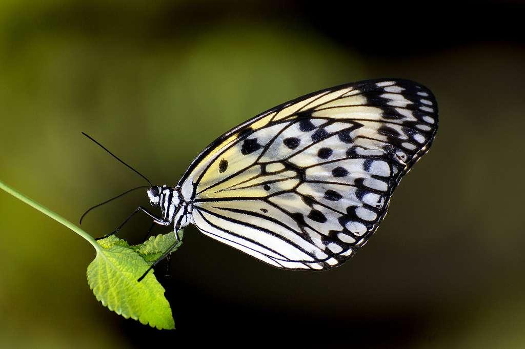 Paper Kite.Malaysia.