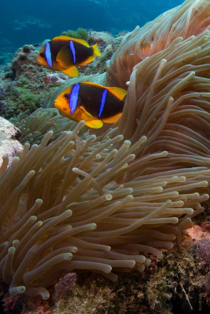 Orange Fin Anemonefish (Amphiprion chrysopterus)