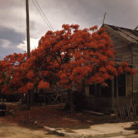 Royal Poinciana in bloom in Key West, Florida