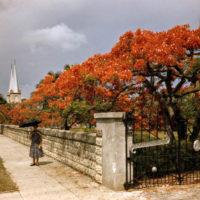 Royal Poinciana in bloom on Truman Avenue: Key West, Florida