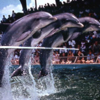 Dolphins leaping over a pole at the Marineland attraction